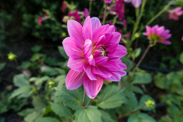 pink fuschia Dahlias sub-tropical flowers indigenous to Mexico and parts of Central America in a outdoor garden