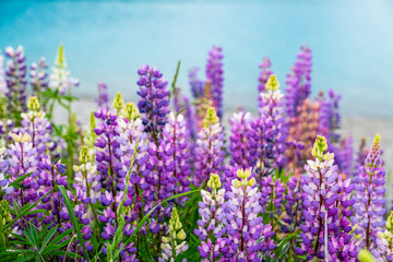Beautiful Lupins flower around Lake Tekapo area, New Zealand.