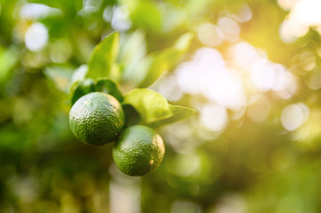 close up green lime and leave in the garden with copy space, popular fruit or vegetable concept.