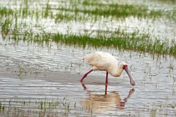 African Spoonbill, wading bird with red spoon shaped bill, face, legs feeding in shallow water at Lake Manyara, Tanzania, Africa