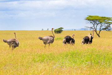 Male and female Ostrich birds walking in open grassland at Serengeti National Park in Tanzania, East Africa.