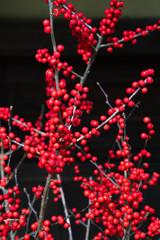 Ilex serrata, Japanese Winterberry