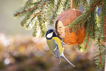 Cute Great Tit bird eating bird feeder, coconut Shell suet treats made of fat during the Winter