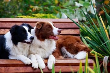 Two dogs Border Collie
