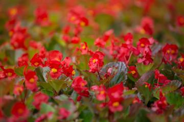 Red flowers background with red shimmery wax begonia semperflorens cultorum