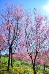 Phu Lom Lo Loei and Phitsanulok wild himalayan cherry blooming/ pink tree of cherry blossom or sakura flower