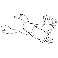 Painted cute funny bird duck drake in flight linear hand drawing, cartoon character, vector black and white illustration, coloring, sketch, silhouette, outline picture isolated on white background