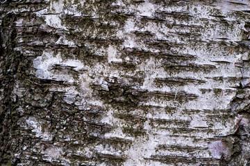 Corteccia di betulla