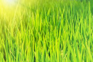 Green rice fields.Rice field. Rice green stalks.Japan.Nagoya.