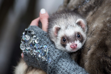 black and white ferret in the hands