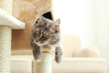 Adorable Maine Coon on cat tree at home. Space for text