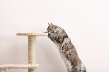 Adorable Maine Coon climbing on cat tree near light wall at home