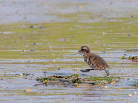 Eider Duck Chick ( Somateria mollissima ). Farne islands.