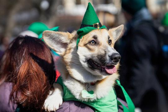 Portrait of sweet, pretty dog in green Irish hat, saint patrick day holiday. St.Patrick s Day