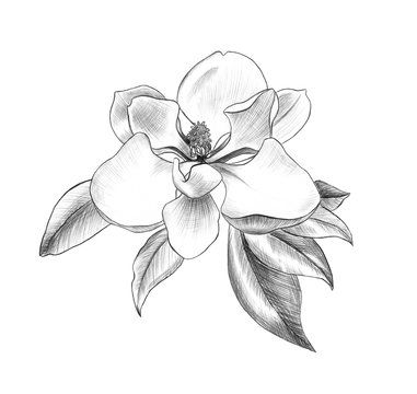 flower of magnolia, penci hand art, graphic design element for postcard, polygraphy, wedding invitation