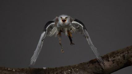 Black-shouldered kite - PC097865