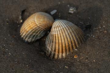 Herzmuschel am Strand