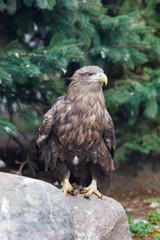 White-tailed Sea-eagle (Haliaeetus albicilla).