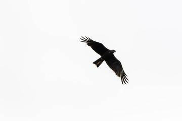 Black Kite (Milvus migrans).
