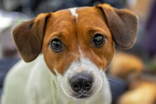 Jack Russell Terrier dog close up portrait. Small terrier. Happy playful jack russell terrier. Cute small pet. Dog pets. Yorkie dog.