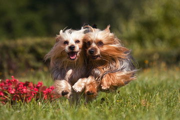 Two york dogs running into the camera through the grass