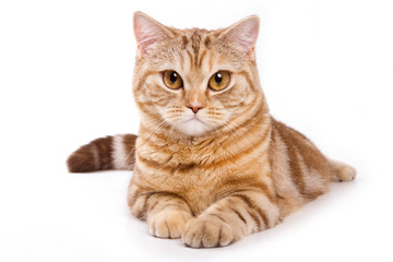 Ginger tabby cat with a serious look (isolated on white)