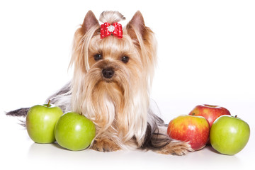 yorkshire terrier with bows and apples (isolated on white)