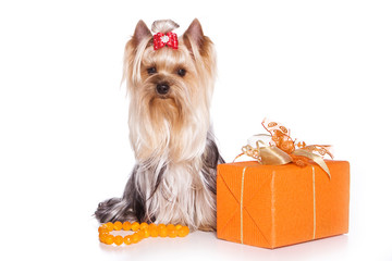 yorkshire terrier with bows with a gift (isolated on white)