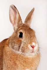 red rabbit (isolated on white)