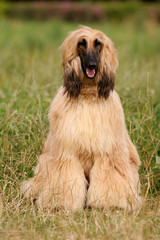 Portrait of a dog Afghan hound on the grass in the sun