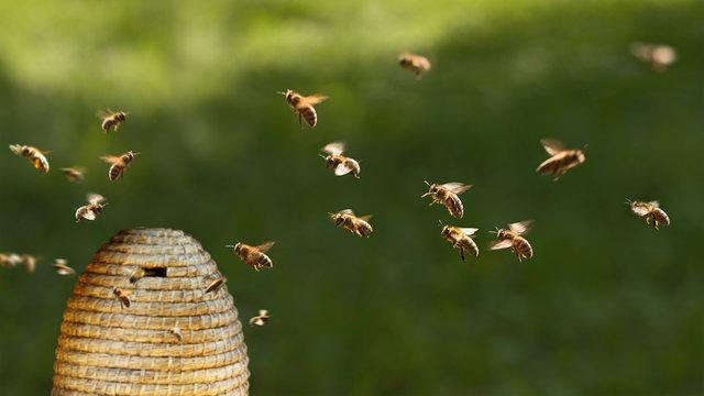 Honigbienen am Bienenkorb