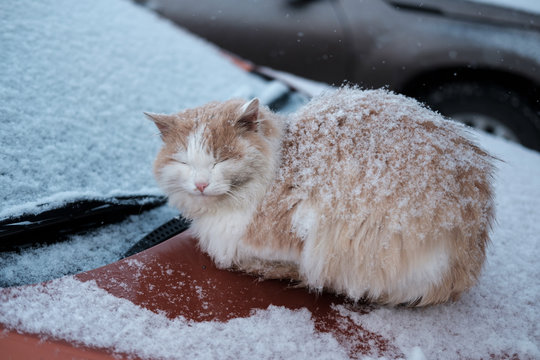 homeless cat basking on the hood of a car on a winter day in the snow