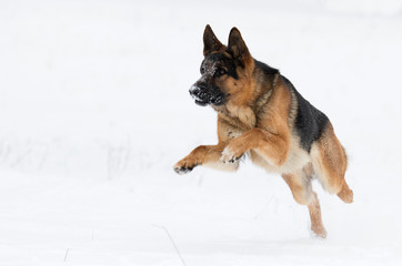 german shepherd dog in winter