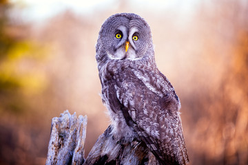 Wall Mural - Great Grey Owl