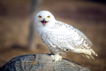 Wall Mural - Snowy owl Closeup