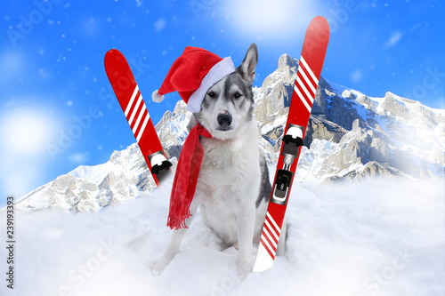 03cd933be2934 Malamute dog with skis sitting in front of a Banff