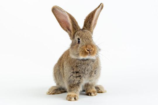 Cute young grey Flemish Giant rabbit, isolated on white background
