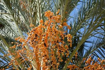 Fruto de la palmera,dátil