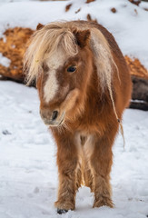 Shetland ponies on a snow covered winter feild