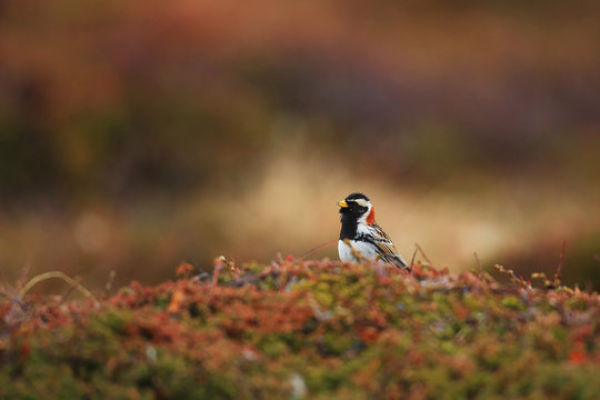 Lapland longspur in tundra