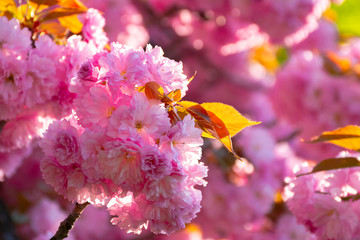 buds of beautiful and tender pink flowers of sakura. cherry blossom season