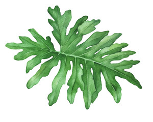 Green tropical jungle leaf of philodendron (also known Philodendron bipinnatifidum, Selloum, horsehead). Hand drawn watercolor painting illustration isolated on white background.