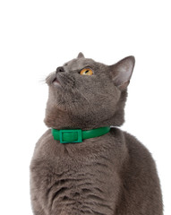 beautiful funny british cat with green collar isolated on the white