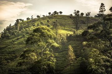 Tea plantations hill fields trees vibrant sunset landscape in Asian Sri Lanka Nuwara Eliya surroundings