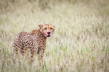 Exhausted cheetah standing over its kill after making successful hunt.