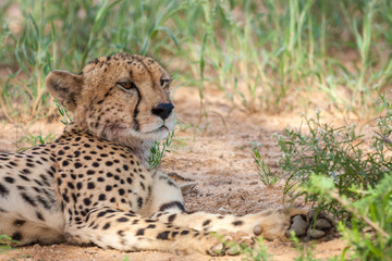 Adult male cheetah rescaping the heat by resting in the shade.