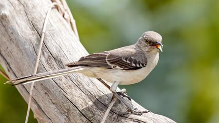Mocking Bird Fotoväggar