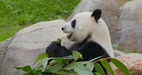 Fototapete - Panda eat green bamboo at zoo park