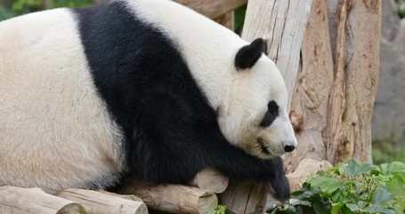 Wall Mural - Panda sleeping on the wood