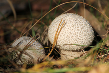 Pestle-shaped Puffball fungus or Handkea excipuliformis (syn. Lycoperdon excipuliforme) in forest. October, Belarus